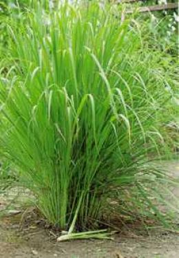 Essential Oil of the Day – Lemongrass (Cymbopogon citratus)